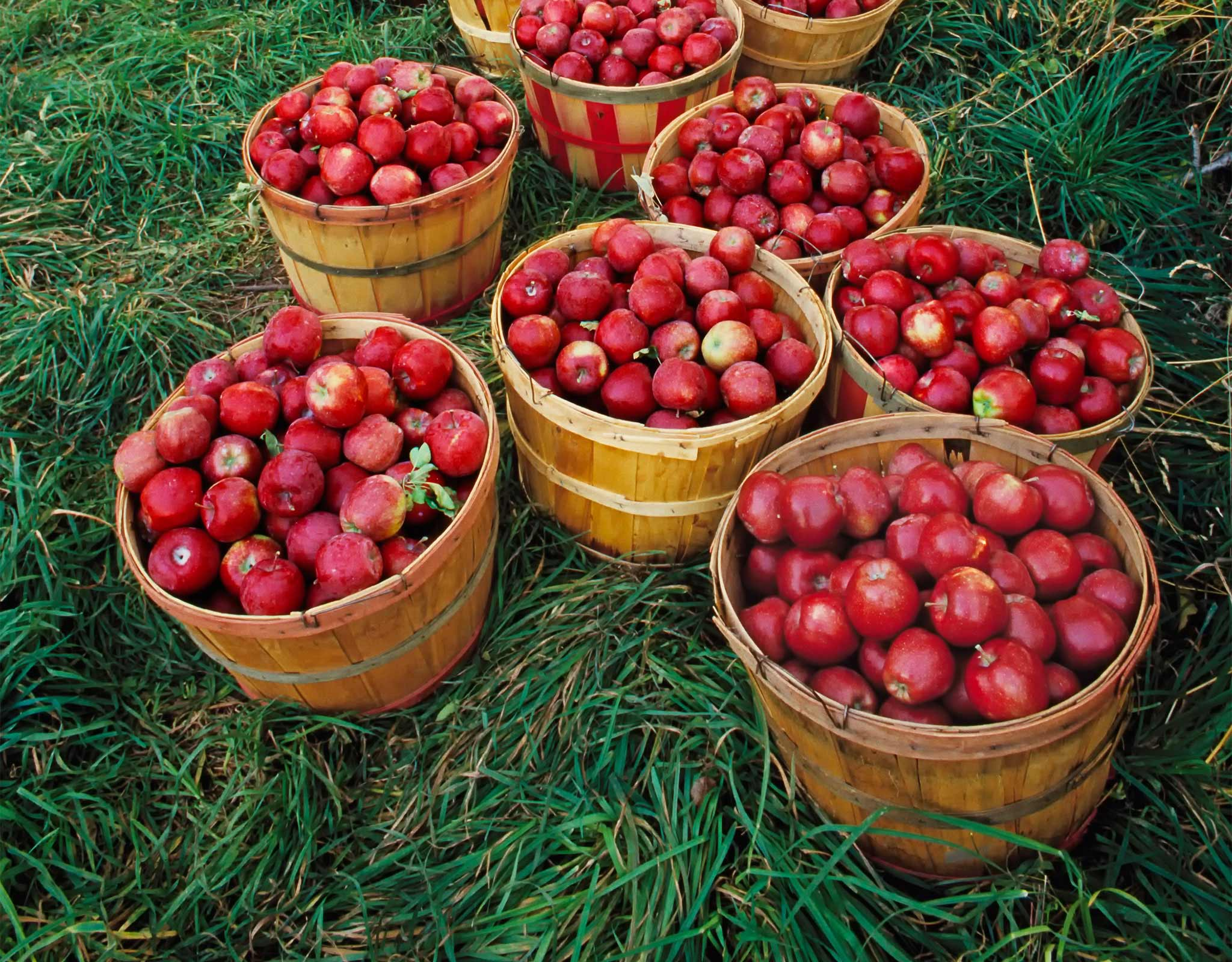 Apple baskets on grass
